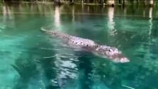 Aterrada y sorprendida, mujer graba su encuentro inesperado con un caimán en aguas de Florida