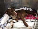 Refugio pide ayuda para perra que fue lanzada de auto en el condado de Williamson