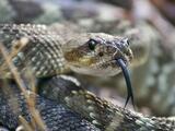 Dos niños son mordidos por serpientes venenosas en Austin: lo que debes hacer para evitarlo