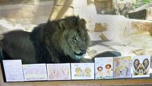Niños envían dibujos y mensajes para los leones africanos del zoológico de Brookfield