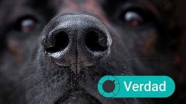 ¿Los perros pueden oler si alguien tiene el coronavirus? Esto es lo que sabemos