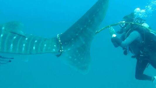 El fallido rescate de un tiburón ballena en las profundidades del océano