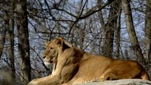 El zoológico de Filadelfia comienza a vacunar a los animales contra el coronavirus