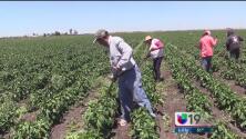 ¿Las promesas de Trump amenazan a la industria agrícola de California?