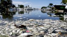 La marea roja arrastra más de 1,000 toneladas de peces muertos a las costas del oeste de Florida