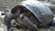 Encuentran en Galápagos una tortuga que se creía extinta desde hace 100 años