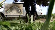 Alertan por plaga de gusanos cogolleros en el norte de Texas: te decimos cómo deshacerte de ellos