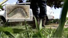 Un 'ejército de gusanos' amenaza con destruir el césped en el norte de Texas