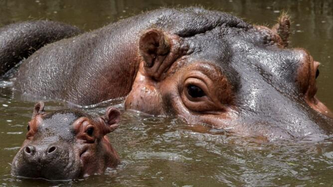 Usan dardos con anticonceptivos para controlar la reproducción de los hipopótamos de Pablo Escobar en Colombia