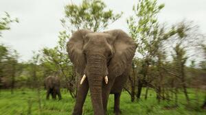 Un elefante pisotea hasta la muerte a un cazador furtivo y salva a su manada