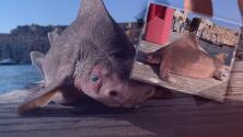 """""""Creyeron que habían hayado un monstruo marino"""": Pescadores se asustan por extraño pez con cuerpo de tiburón y cabeza de cerdo"""