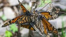La lucha por mantener el maravilloso fenómeno migratorio de las mariposas monarca