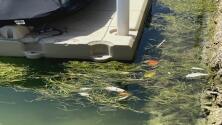 """""""Es el deterioro de la calidad del agua"""": preocupa el hallazgo de peces muertos en la bahía de Biscayne"""