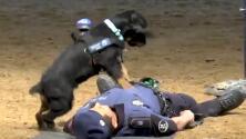 Video: Este perro policía puede reanimar heridos como si fuera un médico experto