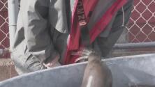 Tras un viaje de más de 2,000 millas, estas focas encuentran hogar en Galveston