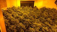 Policías descubren centro de cultivo y procesamiento de marihuana