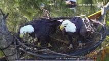 Cámara en vivo muestra a pareja de águilas calvas haciendo su nido en Miami-Dade