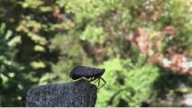 Comienza el combate contra la temporada de la mosca linterna manchada