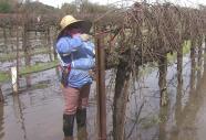 Trabajadores agrícolas de Sacramento siguen laborando pese a inundaciones y envían mensaje a Trump