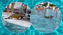 ¡Al agua! Iguana enorme comparte piscina con bañistas en Miami Beach