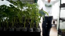 Legisladores estatales aprueban más operadores y dispensarios de marihuana en Florida