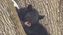 Autoridades logran controlar a oso que sembró el pánico en una zona residencial de Nueva Jersey