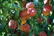 Las mejores granjas para recoger tus propios duraznos en Carolina del Norte