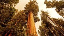 📷 Las llamas de los incendios en California alcanzan a las secuoyas gigantes, los árboles más grandes del mundo