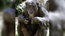 Muere chimpancé de 31 años en el zoológico de Dallas tras una enfermedad cardíaca