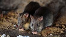 Los síntomas de la leptospirosis, enfermedad asociada al contacto con la orina de ratas detectada en Nueva York