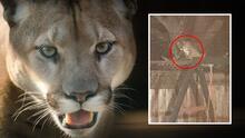 Puma aparece en el patio trasero de una residencia de San Mateo