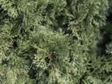 Se registran altos niveles de polen de cedro en Austin
