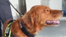 Conoce la historia de Blaze, el perro rescatista que trabajó hasta el cansancio en la zona cero del derrumbe en Surfside