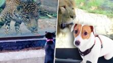 ¿Cómo reaccionaría un perro al conocer un león? Animales domésticos van al zoológico