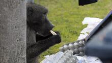 La historia de Kataza, un simio con un largo historial de robos que finalmente fue atrapado