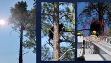 Bomberos ayudan a bajar a un oso de un árbol en Flagstaff