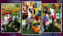 El Chihuaha que se puso el sombrero para celebrar el Grito de la Independencia de México