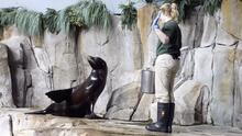 El Moody Gardens en Galveston tiene un nuevo integrante: el león marino Duke