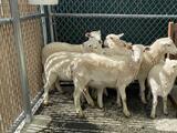 Propietario descubre un rebaño de corderos en el patio de su hogar en Brooklyn