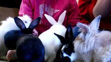 Consecuencia de la pandemia: conejos se reproducen a ritmo acelerado tras ser abandonados