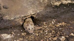 Descubren indicios de mutaciones de covid-19 en alcantarillas de NYC; temen posibles brotes entre ratas