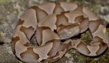 Lo que debes saber de las serpientes 'copperheads' bebés que salen esta temporada