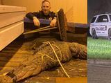 Capturan a enorme lagarto que caminaba hacia unos departamentos del suroeste de Houston