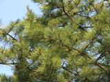 Se registran altos niveles de polen de cedro en Austin este viernes