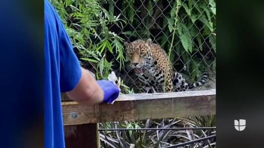 Hombre es herido por un jaguar tras saltar la valla protectora en un zoológico de Florida