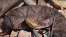 Confirman el primer caso de mordedura de serpiente venenosa de la temporada en Pensilvania