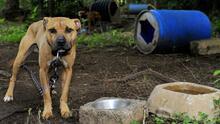 📷 Esteroides, caminadoras y palos en sus mandíbulas: así entrenan los perros de pelea
