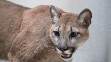 Rescatan a puma que mantenían ilegalmente como mascota en Nueva York