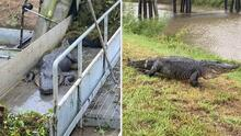 Rescatan a caimán que queda atrapado en pantano