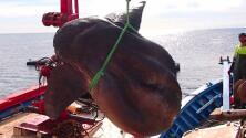 Científicos quedan asombrados con el hallazgo de un pez gigante que fue capturado por error